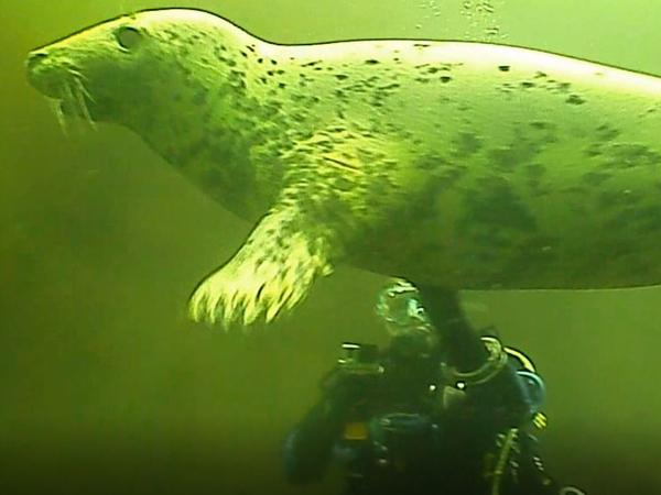 Thumbnail photo for BSAC North Gloucester diving club encounters seal in Farne Islands