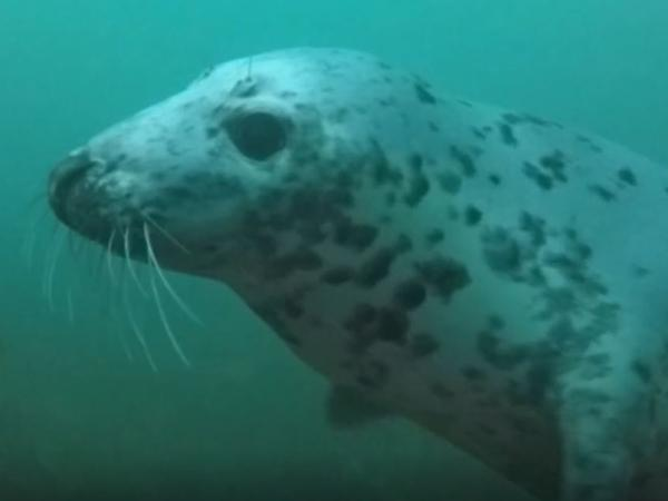 Thumbnail photo for Hackney SAC scuba diving with seals Farne Islands