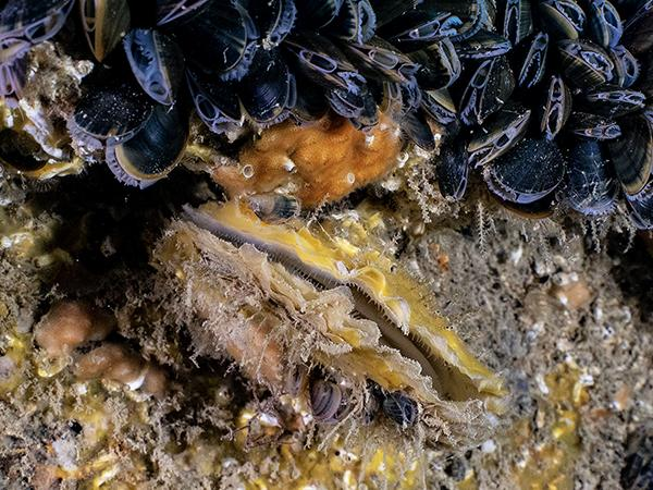 Thumbnail photo for BSAC members recognised in Zoological Society's Native Oyster Quest