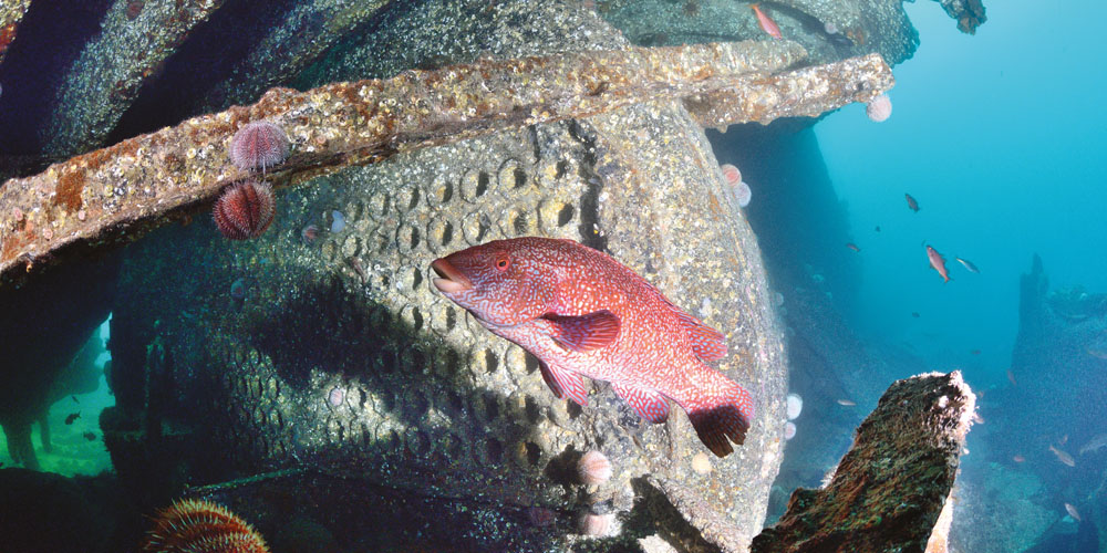 A friendly ballan wrasse obscures a photo of the boiler of SS Jane