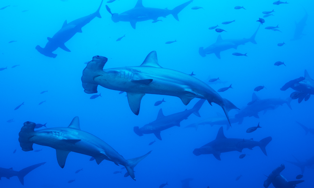 A school of scalloped hammerhead sharks at Wolf Island H600