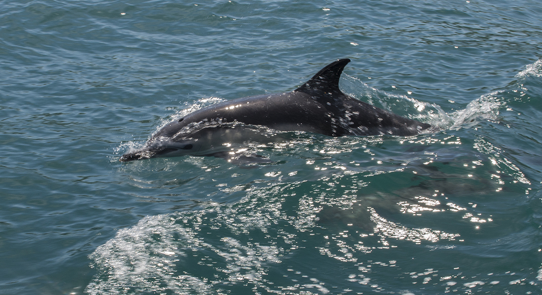 Common dolphin at surface