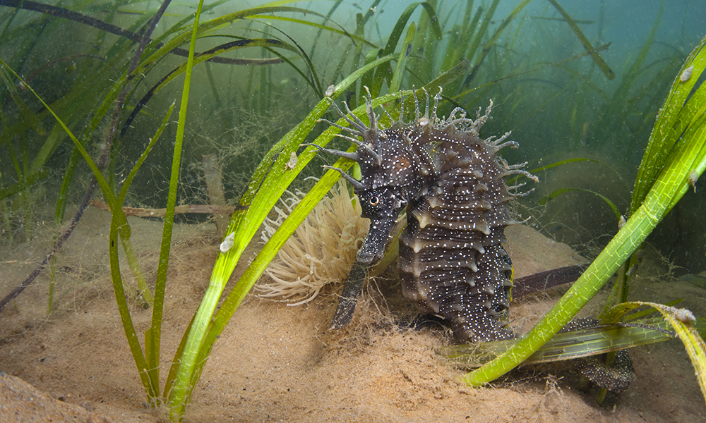 Short-snouted seahorse among sea grass