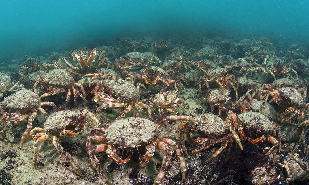 Spider crabs swarm on sea floor