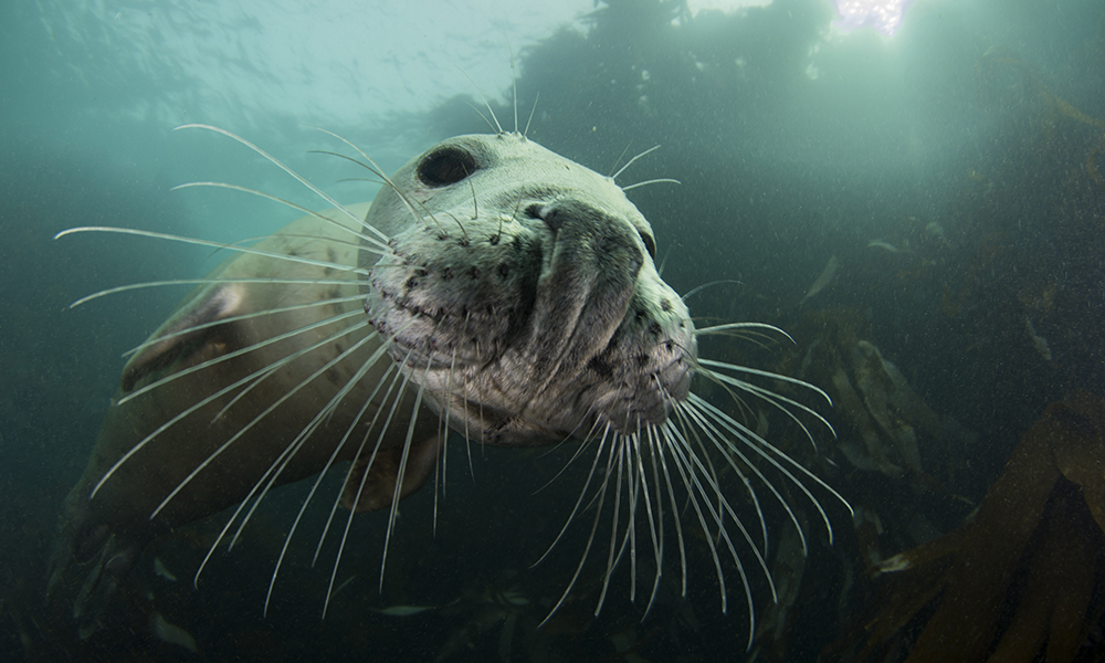 Grey seals are playful and curious and will often approach divers