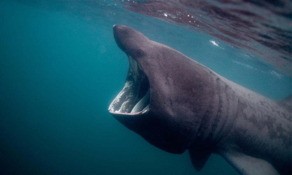 Side view of a basking shark near the surface