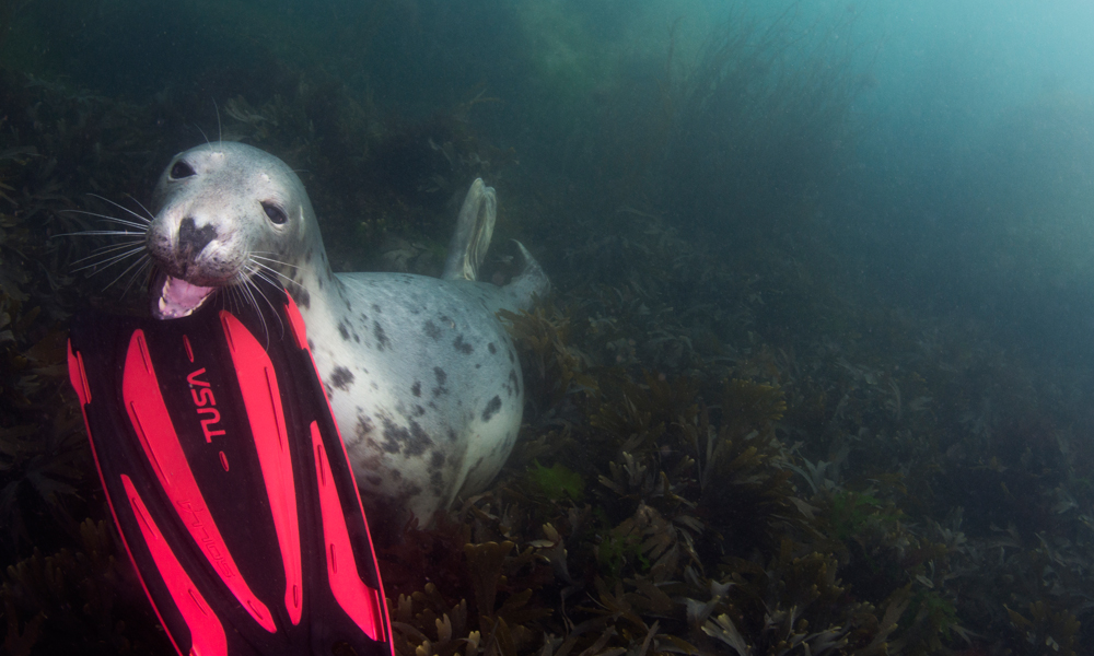 Jane Morgan - Open Water - UK - Wildlife - Grey seal going to nibble on a divers flipper