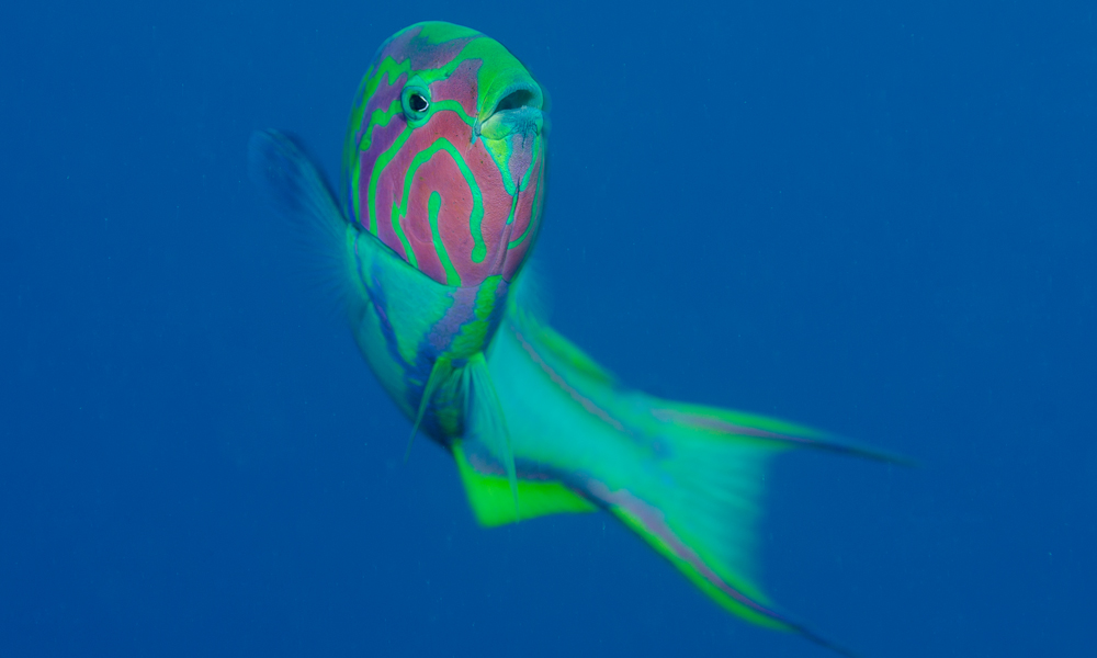 Klunzinger wrasse in the Fury Shoal