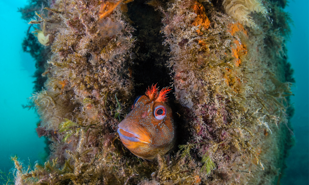 A Tompot Blenny peeking from reef with sea edges